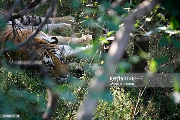 On The Trail Of The Last Tigers In India Safari de luxe en Inde pour tenter d'apercevoir les derniers tigres du pays réfugiés dans les parcs naturels...