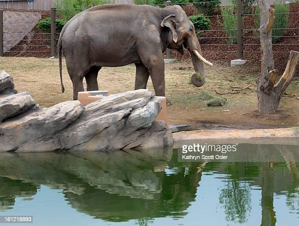 """Once outside, """"Groucho"""" eats a snack of hay. During a special event on Saturday, May 12 the Denver Zoo opened up the new Toyota Elephant Passage to a..."""