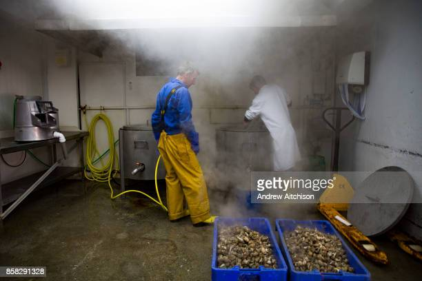 Once the whelks are ready they are removed from the large pot of boiling water with a sieve and put still steaming into boxes ready for shelling...