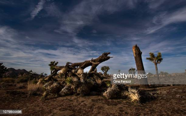 A once vibrant Joshua Tree has been severed by high winds according to park rangers on January 8 2019 at Joshua Tree National Park in Joshua Tree...