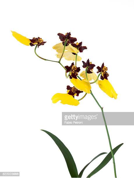 oncidium insigne - insigne stock pictures, royalty-free photos & images