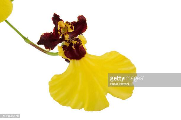 oncidium insigne1 - insigne stock pictures, royalty-free photos & images