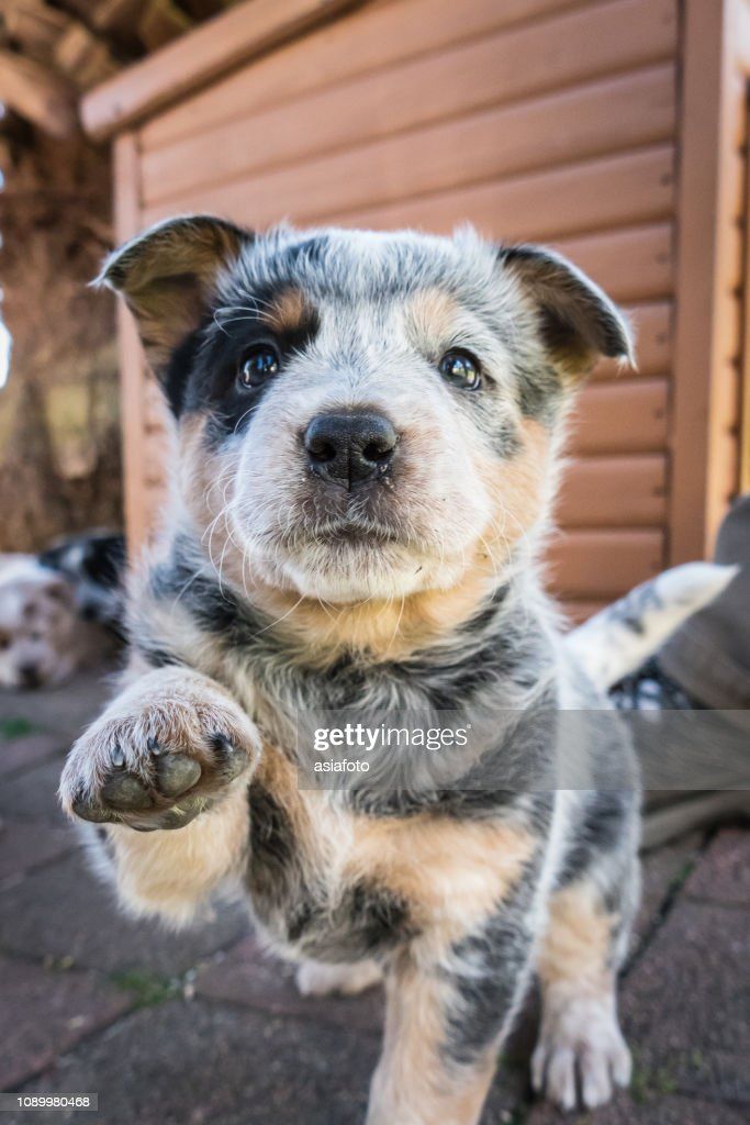 One 6-weeks old Blue Heeler puppy, Australian Cattle Dog, looks at camera, one paw raised, tail up : Stock Photo