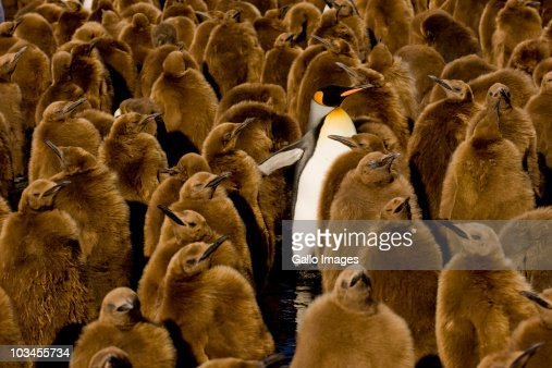 One adult King Penguin (Aptenodytes patagonicus) amongst colony of chicks. Gold Harbor, South Georgia Island, Southern Atlantic Islands, Antarctica
