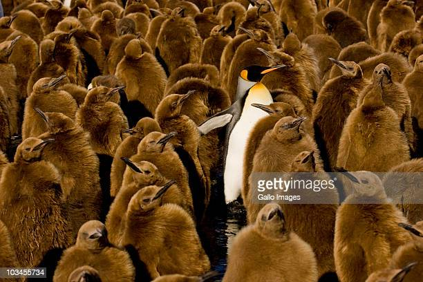 one adult king penguin (aptenodytes patagonicus) amongst colony of chicks. gold harbor, south georgia island, southern atlantic islands, antarctica - colony group of animals stock photos and pictures