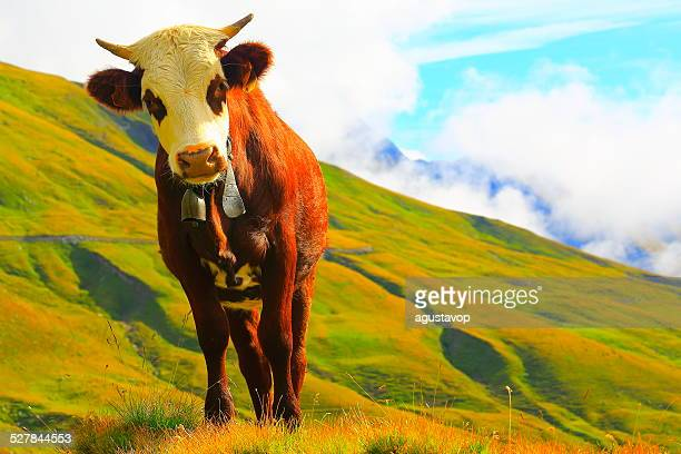 One Alpine cow looking at camera at swiss / French alps border