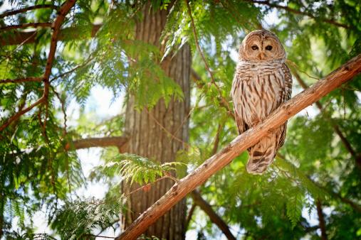 One Barred owl sitting on a cedar branch 187045059