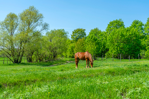 one beautiful horse grazes freely on a bright green meadow 1225070677