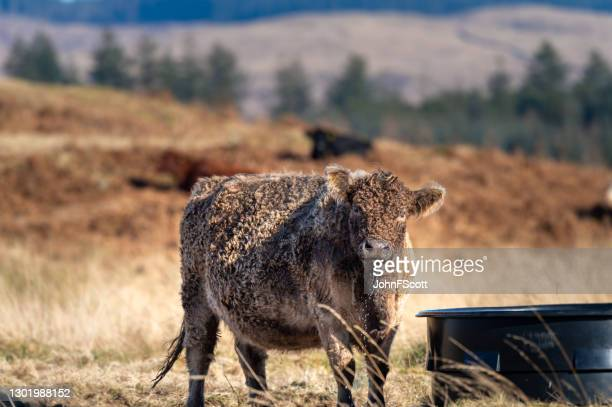one beef cow in a field - johnfscott stock pictures, royalty-free photos & images