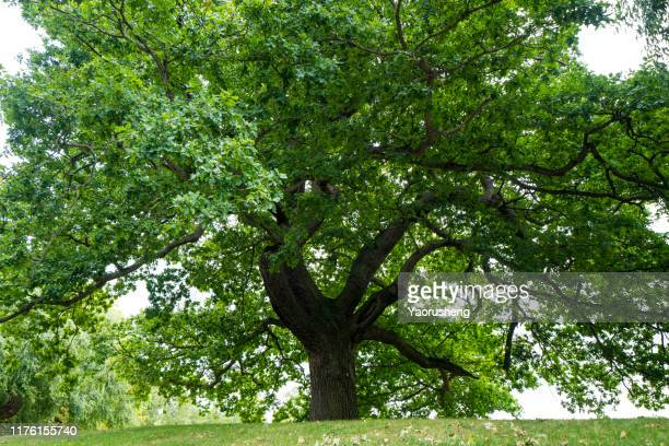 one big tree - field stock pictures, royalty-free photos & images