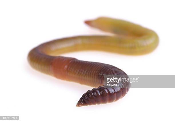 one big worm - earthworm stock pictures, royalty-free photos & images