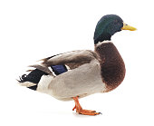 One brown duck.