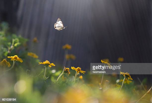 one butterfly flying mid air on top one flower bed. - wilde tiere stock-fotos und bilder