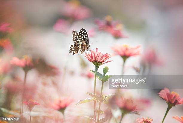 One butterfly stop on pink flower on soft blurred background.