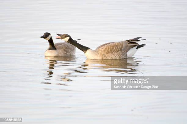 one canada goose with outstretched neck and open bill honks aggressively at another while swimming in pond, creamer's field migratory waterfowl refuge, fairbanks, interior alaska, spring - water bird stock pictures, royalty-free photos & images