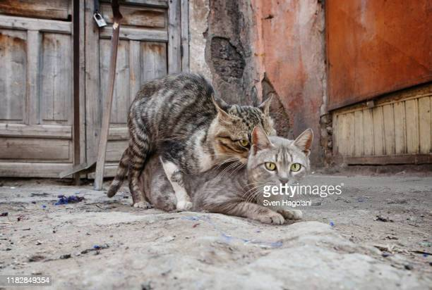 one cat on top of another - animal behaviour stock pictures, royalty-free photos & images