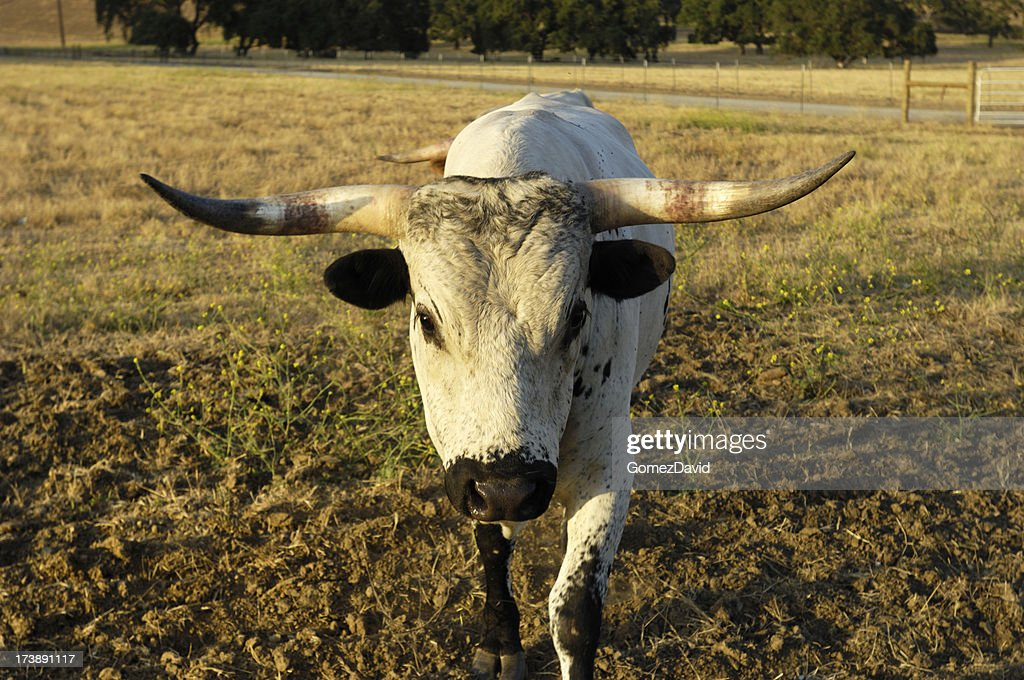One Charging Texas Longhorn Bull : Stock Photo