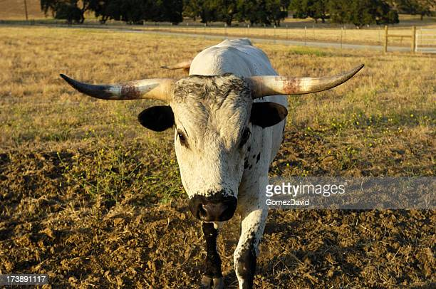 one charging texas longhorn bull - texas longhorn cattle stock photos and pictures