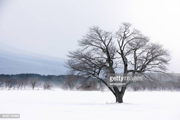 One cherry tree on winter at Hachimantai, Iwate, Japan