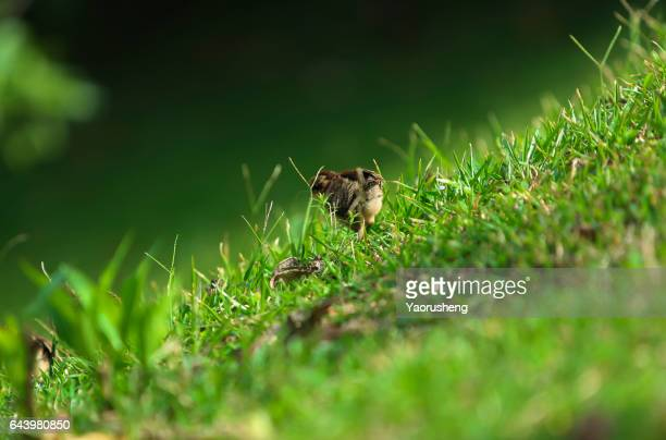 One chick walking on the green grass