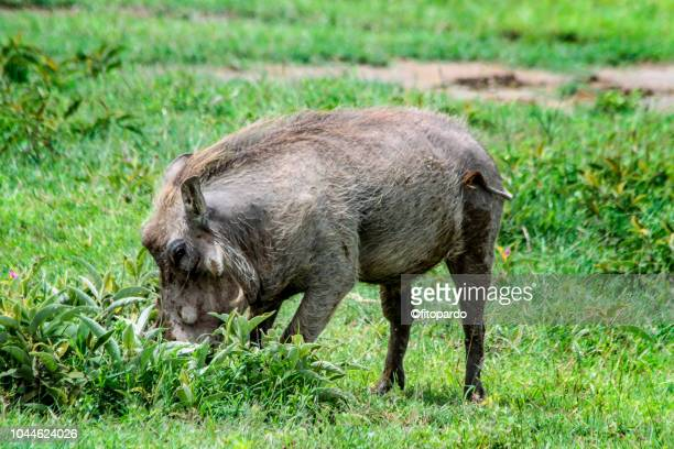 one common warthogs - wild hog stock photos and pictures