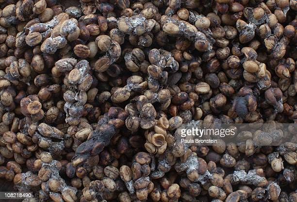 One day old Luwak coffee beans mixed with stool dry in the sun January 20 2011 in Tapaksiring Bali Indonesia The beans are later washed several times...