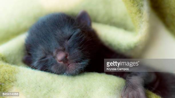 One Day Old Newborn Black Kitten in Blanket