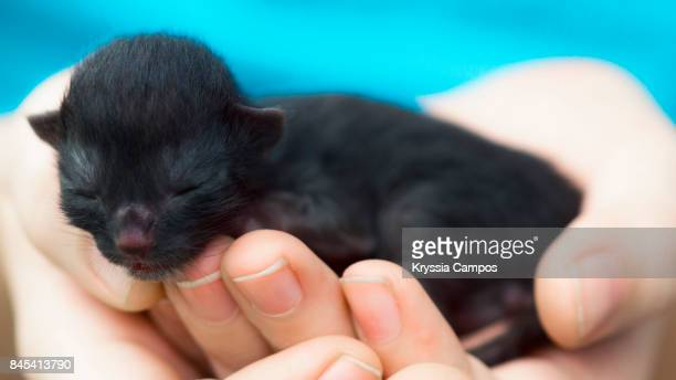 One Day Old Newborn Black Kitten in Boy Hands