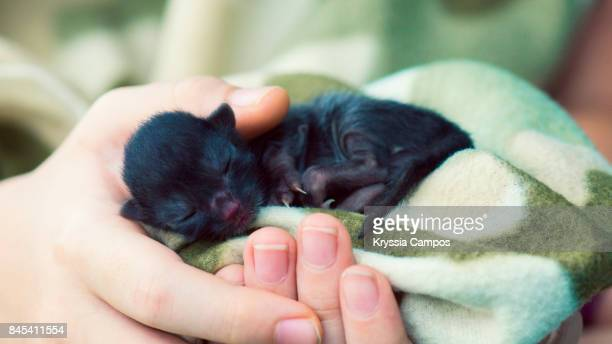 One Day Old Newborn Black Kitten