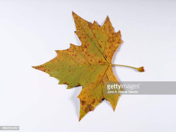 One dry leaves in autumn of green and yellow color on a white background. Spain