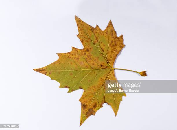 one dry leaves in autumn of green and yellow color on a white background. spain - objet vert photos et images de collection