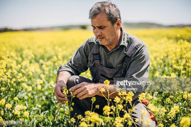 one farmer examining plants in vivid field - kneeling stock pictures, royalty-free photos & images