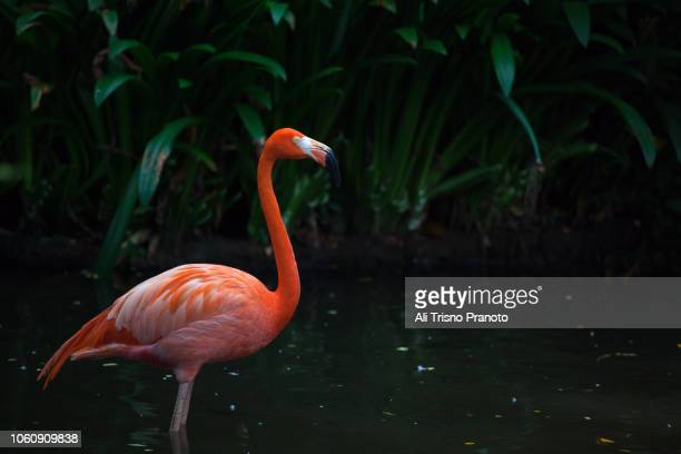 one flamingo standing, singapore - jurong bird park stock pictures, royalty-free photos & images