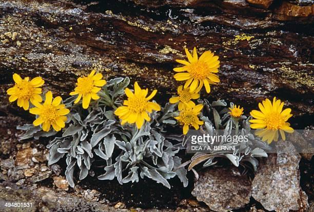 One Flowered Alpine Groundsel Asteraceae