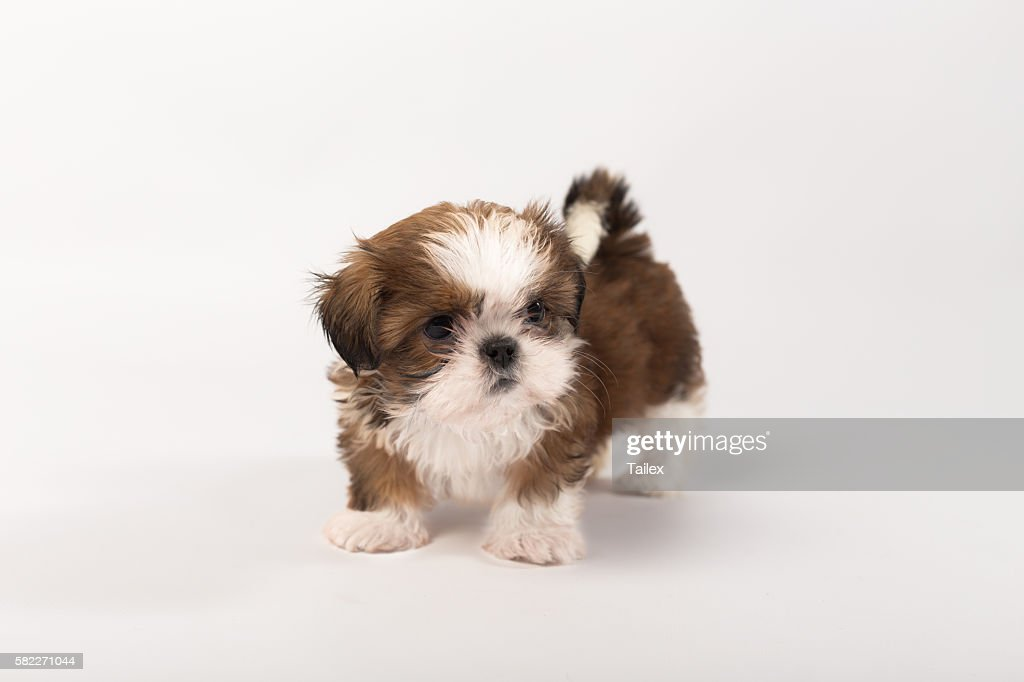 One Funny Shihtzu Puppy On The White High Res Stock Photo Getty Images