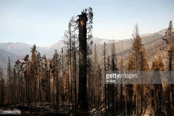 One giant Sequoia was decapitated, the upper trunk and branches strewn at its base in a tangled heap in the 530 acres of the privately owned Alder...