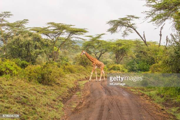 one giraffe in the savannah - one animal stock pictures, royalty-free photos & images