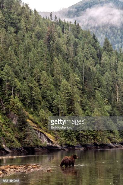 One grizzly bear under forest covered hills