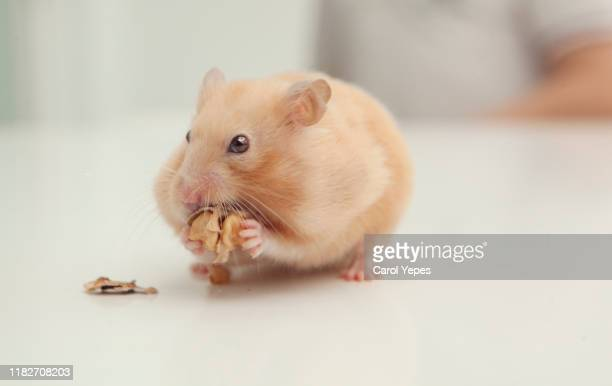 one hamster eating nuts - hamster photos et images de collection