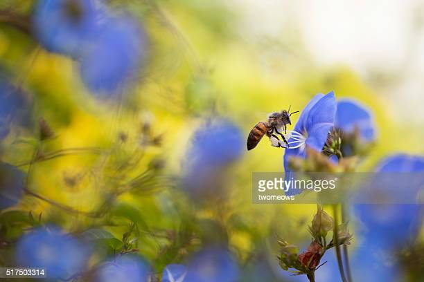 one honey bee stop on morning glory flower on soft blurred background. - bees on flowers stock pictures, royalty-free photos & images