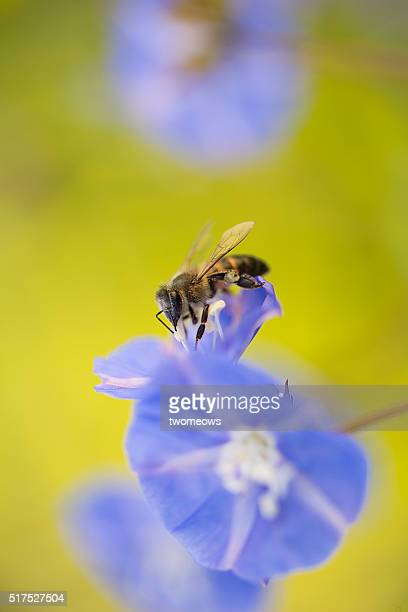 One honey bee stop on pink flower on soft blurred background.
