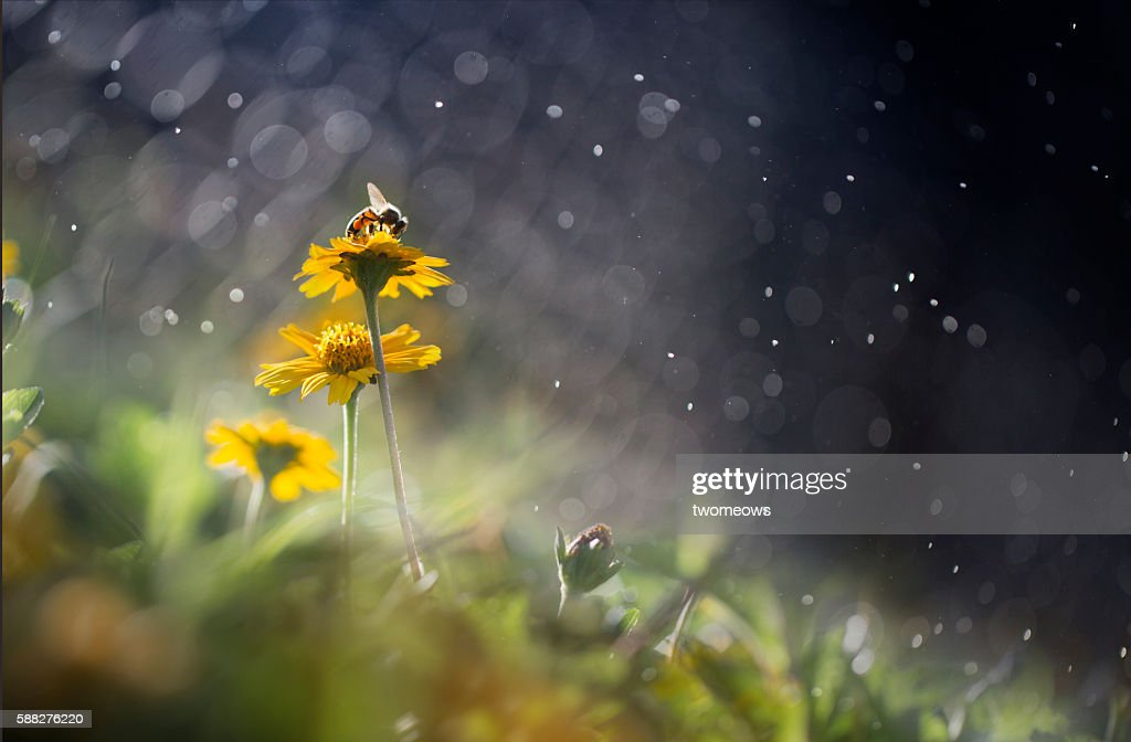 One honey bee stop on yellow meadow flower bed. Dreamy effects. : Stock Photo