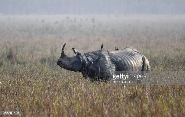 A one horn rhino grazes at the Pobitora Wildlife Sanctuary as Indian forestry officials conducted a census of the endangered species in Pobitora some...
