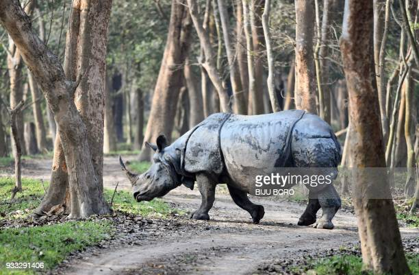 A one horn rhino walks through the Pobitora Wildlife Sanctuary as Indian forestry officials conducted a census of the endangered species in Pobitora...