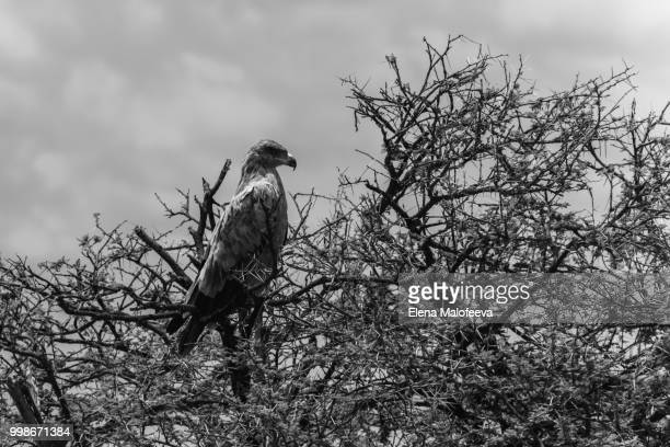one huge Martial Eagle in the branches of a large tree