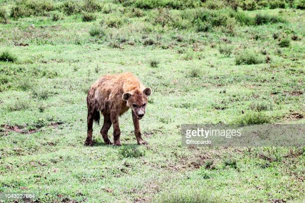 one hyena walking in africa - spotted hyena stock pictures, royalty-free photos & images