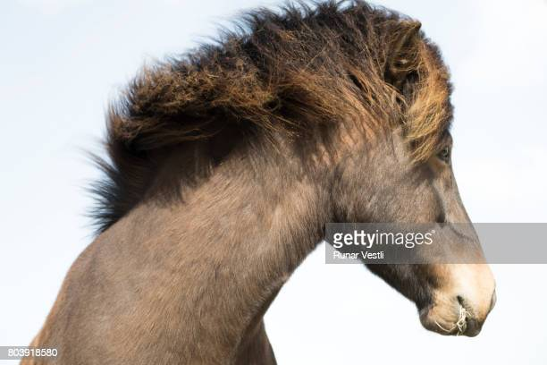 One Icelandic horse