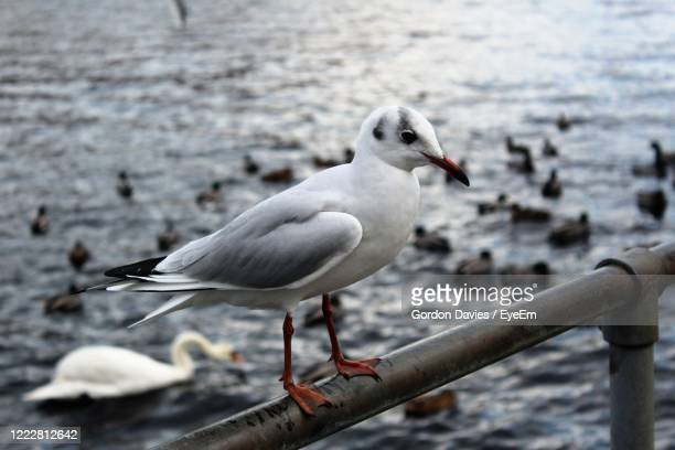 one if my gull friends - stockton on tees stock pictures, royalty-free photos & images