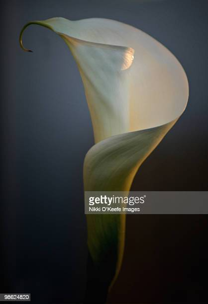 one last calla - calla lily stock pictures, royalty-free photos & images