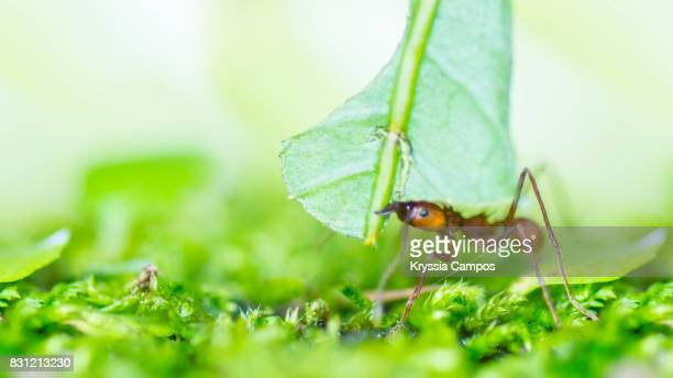 One Leaf Cutter Ant carrying leaf to its nest, Costa Rica